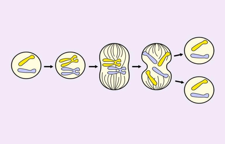 Qué es la mitosis