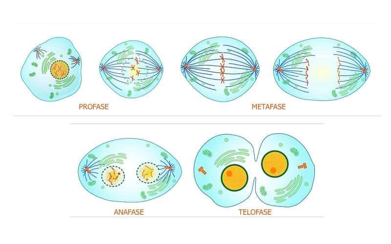 Fases de las mitosis