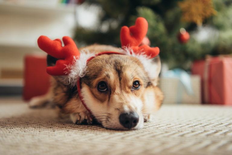 ¡Vigila! Plantas navideñas que podrían matar a tu perro o gato