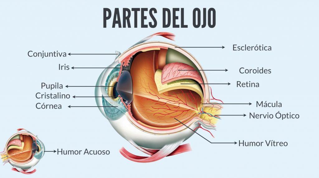 Las partes del ojo.
