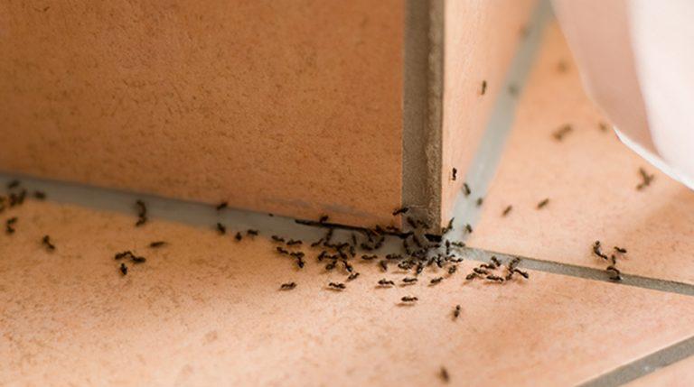 Cómo 'liquidar' a las hormigas para siempre