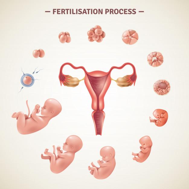 ¿Cómo es el proceso de fecundación?
