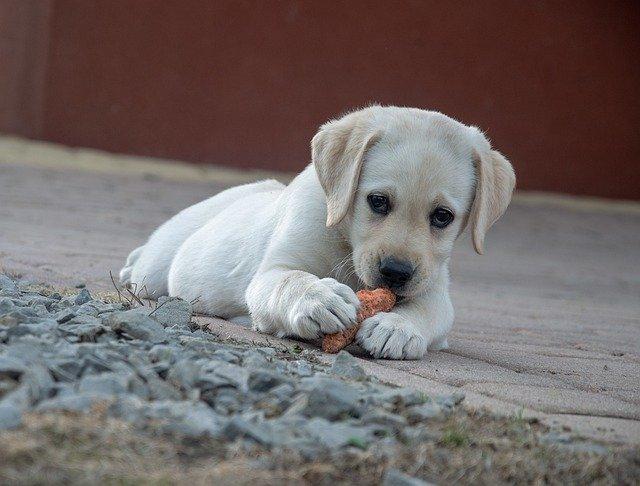 Este es el motivo por el que tu perro esconde comida en casa