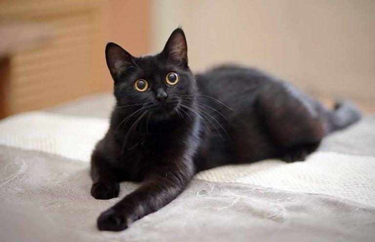 Razones por las que tener un gato negro de mascota