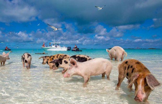 En Cayo Big Major reinan los animales, concretamente los cerdos