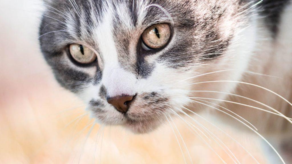 ¿Qué significa el maullido de un gato?