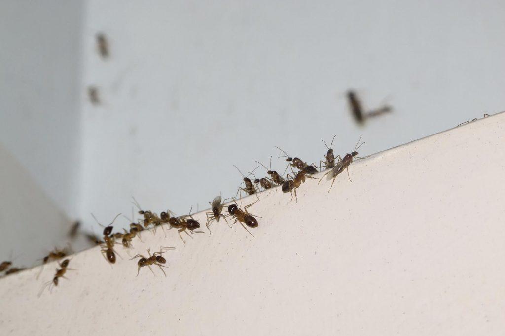 Consejos básicos para deshacerse de las hormigas