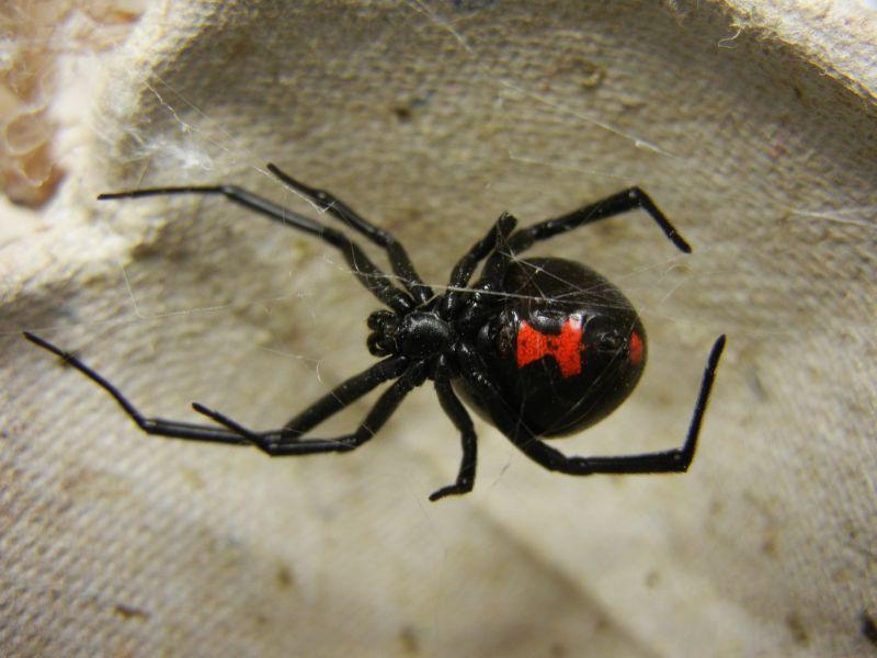 Picadura de araña viuda negra