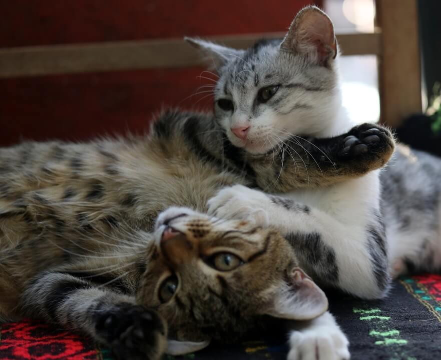 Cómo tener dos gatos en el hogar y no morir en el intento