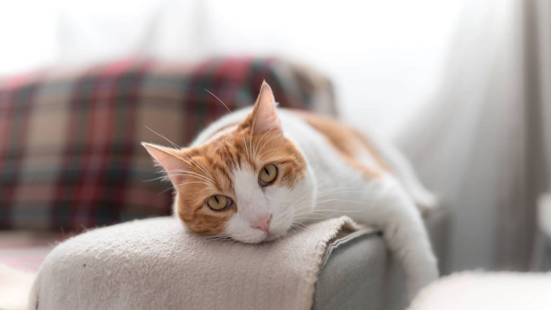 Qué es la bolsa primordial de los felinos