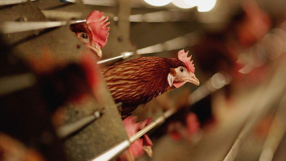 Qué es la gripe aviar