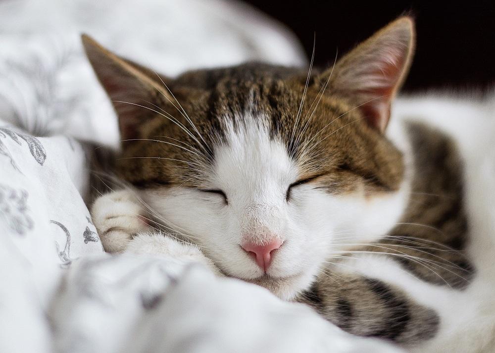 Un gato descansando es una mascota feliz