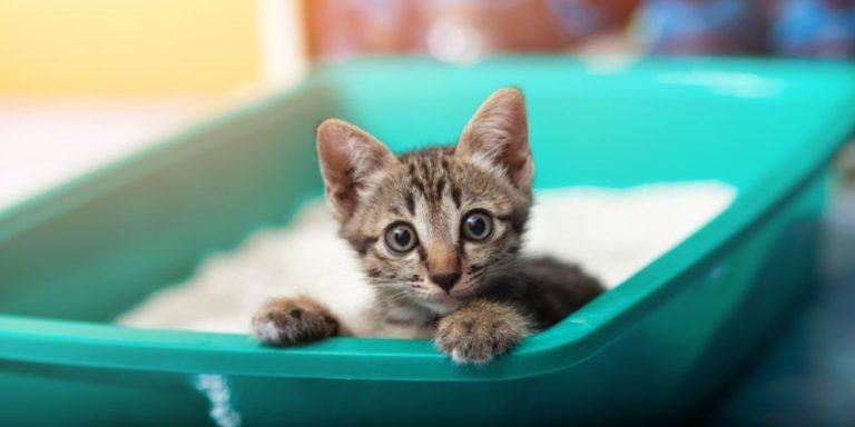 Cómo enseñar a un gato a usar la caja de arena