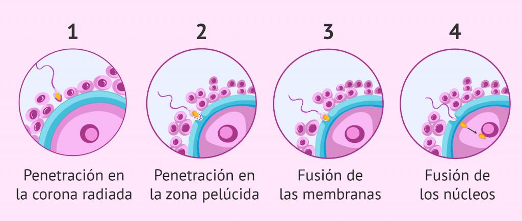 Proceso de fecundación paso a paso